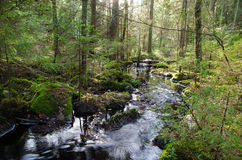 Old-growth forest with a streaming creek Stock Photo