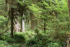 Old Growth Forest. A forest in Washington State with trees and growth dating back thousands of years Stock Photo