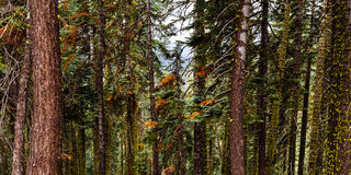 Old growth. A portion of an old growth forest just before they logged it Royalty Free Stock Photography