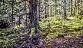 Old Growth Rain Forest Royalty Free Stock Image