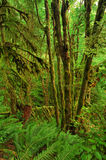 Old-growth rainforest Royalty Free Stock Images