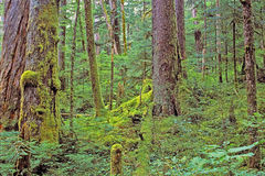 Old growth Rainforest Stock Photography