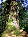 An Old-Growth Redwood Stock Image