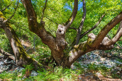 Old growth tree in forest Stock Photos