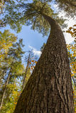 Old Growth White Pine Tree with a Curved Trunk Royalty Free Stock Images