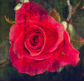 Old grunge  background with red rose Royalty Free Stock Photo