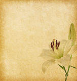 Old grunge background with white lily. Stock Image