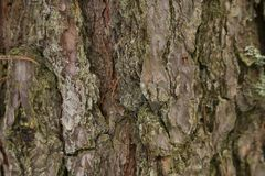 Old grunge bark wood texture background. Picture without processing and filtres stock photo