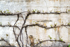 Old grunge concrete wall with a green plant in front. Old gray grunge concrete wall with a green plant in front Royalty Free Stock Photography