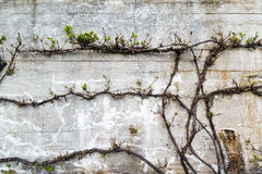 Old grunge concrete wall with a green plant in front. Old gray grunge concrete wall with a green plant in front Royalty Free Stock Image