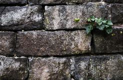 Old grunge natural bricks blocks textured stone background wit. H a green plant growing on it eco concept image Royalty Free Stock Images