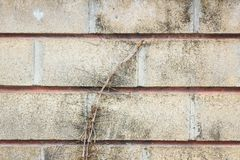 Old grunge wall with tree root Royalty Free Stock Photography
