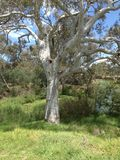 Old gum tree. An old gum tree by the Werribee River Stock Images