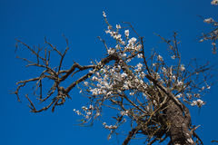Old half-dead almond tree with one flowering branch Stock Images