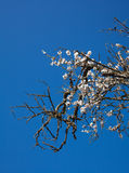 Old half-dead almond tree with one flowering branch Royalty Free Stock Photos