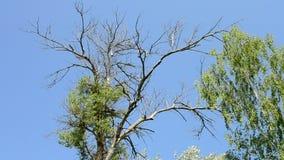 Old half dry or half dead poplar tree. On background of blue sky near green birch stock footage