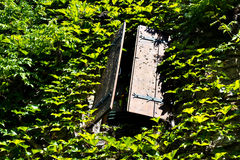 Old half open wooden window shutters overgrown with ivy. Royalty Free Stock Images