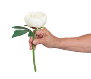 Old hand giving a rose Stock Image