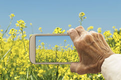 Old hand taking photography of oilseed rapeseed flowers field. Royalty Free Stock Images