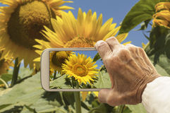 Old hand taking photography of sunflowers field. Stock Photo