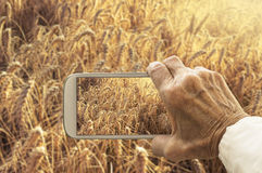 Old hand taking photography of wheat field. Stock Photography