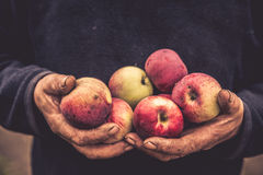 Old hands hold apples. Old dirty cracked farmer hands hold red apples stock images