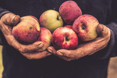Old hands hold apples. Old dirty cracked farmer hands hold red apples, close up Royalty Free Stock Images