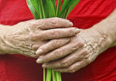 Old hands hold plant Stock Images