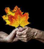Old hands holdin autumnal leaves Stock Photography