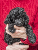 Old hands holding cute black poodle pup. Little adorable black poodle puppy held by old man in red sweater Stock Photo