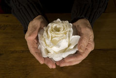 Old hands with white rose Royalty Free Stock Photography