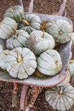 Old Haul of Squash. A rustic wheelbarrow full of light green pumpkins squash during the fall harvest time Royalty Free Stock Photography