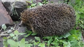 Old hedgehog. Stock Photos