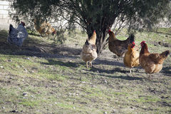 Old hen Royalty Free Stock Photography
