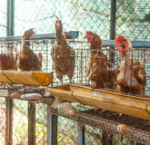 Old hen at  farm produce egg Royalty Free Stock Images