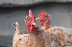 Hen portrait. Old hen portrait with blurry background Stock Photo