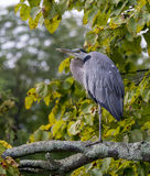 Old Heron Resting Stock Photo
