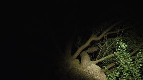 An old high branchy tree at night. Someone has a flashlight illuminates the branches from the bottom in search of someone or something stock footage
