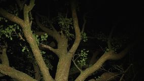 An old high branchy tree at night. Someone has a flashlight illuminates the branches from the bottom in search of someone or something. Middle shot stock video