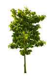 Old high tree isolated white background. Stock Images