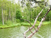 Old high trunk of a gnarled tree against the background of a marshy lake. royalty free stock image