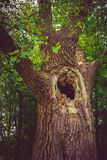 Old hollow tree. In the forest Royalty Free Stock Images