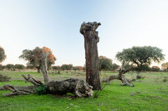Old holm oak Broken by a storm. In the glassland of Extremadura Royalty Free Stock Photo