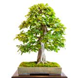 Old hornbeam Carpinus betulus as bonsai tree. With mighty trunk Stock Photo
