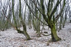 An old hornbeam forest. With strange trees at the end of the fall Royalty Free Stock Image