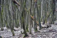An old hornbeam forest. With strange trees at the end of the fall Royalty Free Stock Images