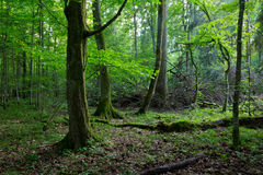 Old hornbeam moss wrapped in spring forest. Old hornbeam moss wrapped and old natural deciduous stand of Bialowieza Forest in background Royalty Free Stock Photography