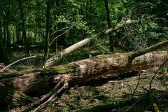 Old hornbeam tree broken in summer sun stock image