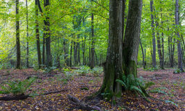 Old hornbeam tree in fall. Old hornbeam tree in front of deciduous stand with ferns, Bialowieza Forest, Poland, Europe Royalty Free Stock Images