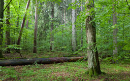 Old Hornbeam Tree in mixed stand of Bialowieza Forest Royalty Free Stock Image
